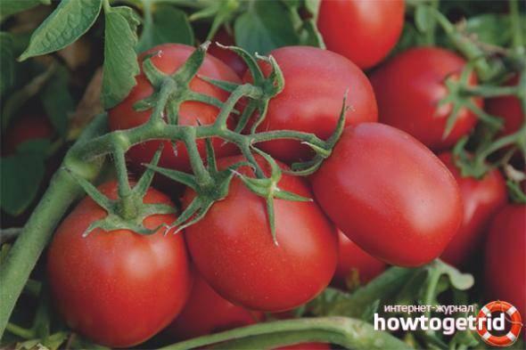 Характеристика и описание сорта томата каспар, его урожайность