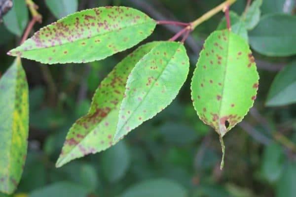 Болезни вишни и борьба с ними: фото и рекомендации