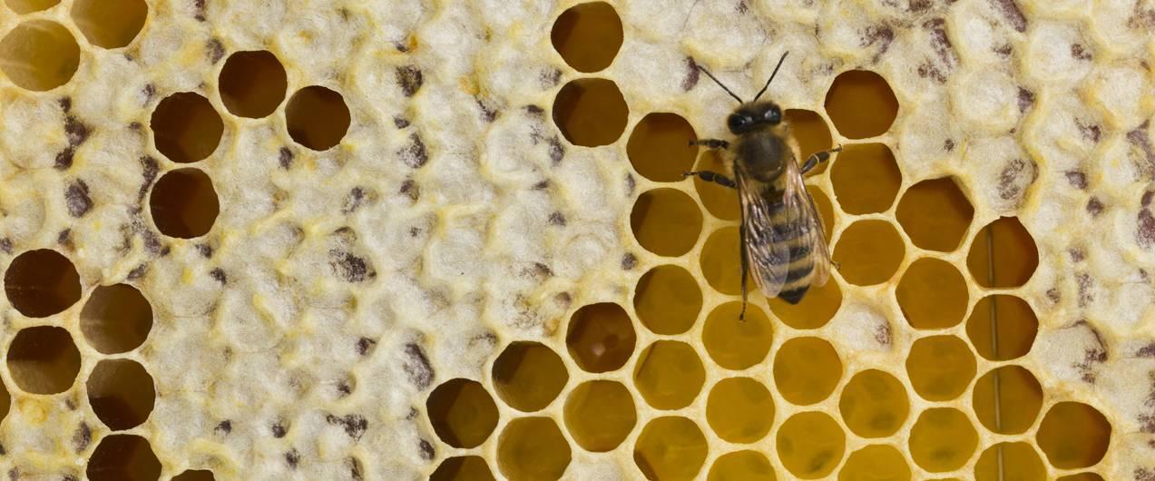 Лечение язвы медом и прополисом