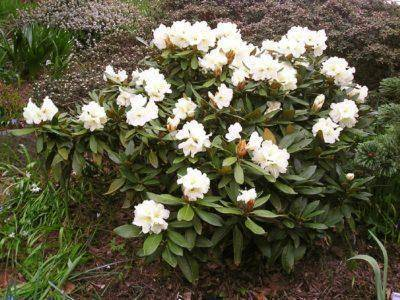 Рододендрон: посадка и уход (фото). особенности ухода за рододендроном — выбор сорта, посадка, размножение, подкормки