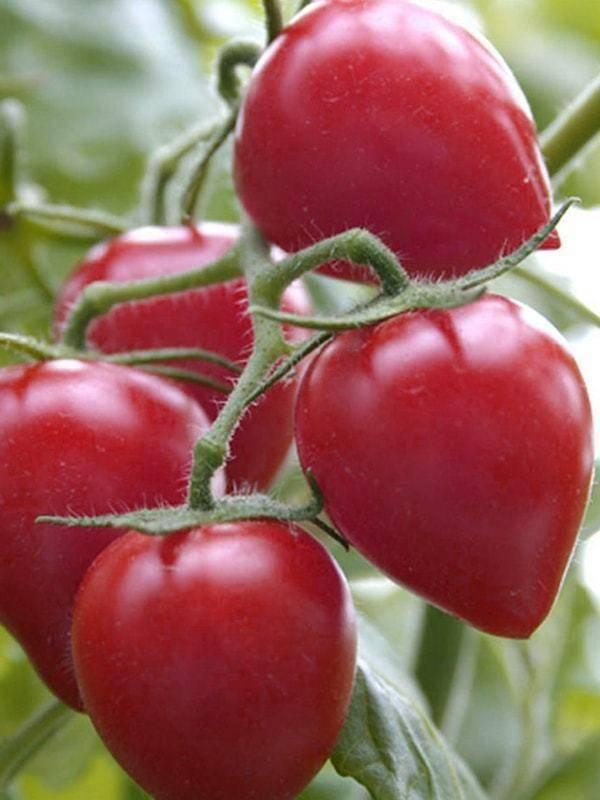Томат кемеровец: характеристика и описание сорта, фото, отзывы, урожайность