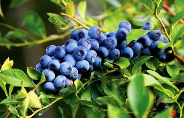 Голубика блюэтта: характеристика сорта и тонкости выращивания
