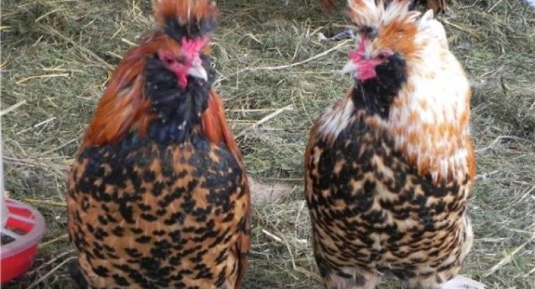 Русские хохлатые — старинная порода кур с запоминающейся внешностью