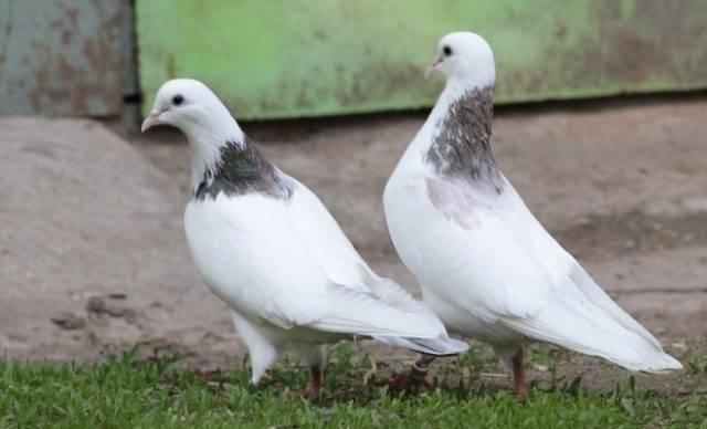Бакинские голуби: особенности, виды и содержание