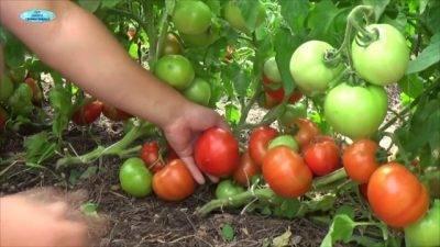 Какие удобрения выбрать для посадки помидоров –  подготовка почвы и внесение подкормок в лунки