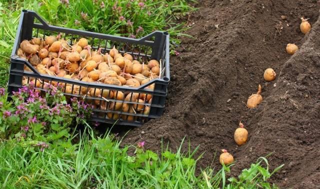 Картофель «крона»: особенности ухода