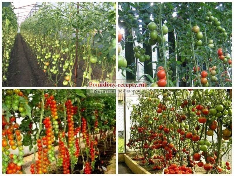 Как подкормить помидоры дрожжами