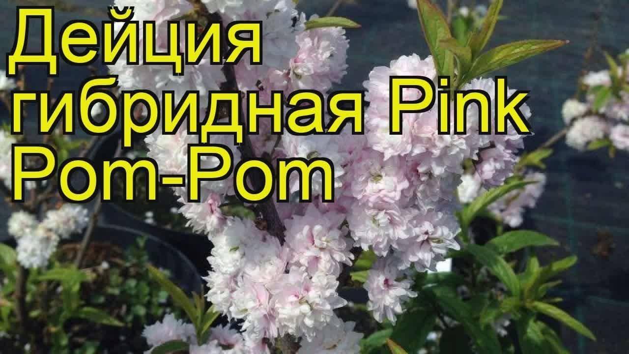 Дейция Пинк Пом Пом (Pink Pom Pom): фото, отзывы, описание
