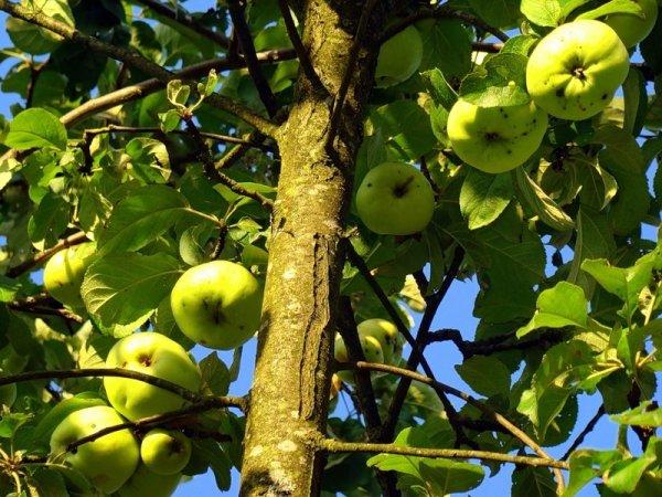 Под стать своему названию — высокорослая яблоня «богатырь»