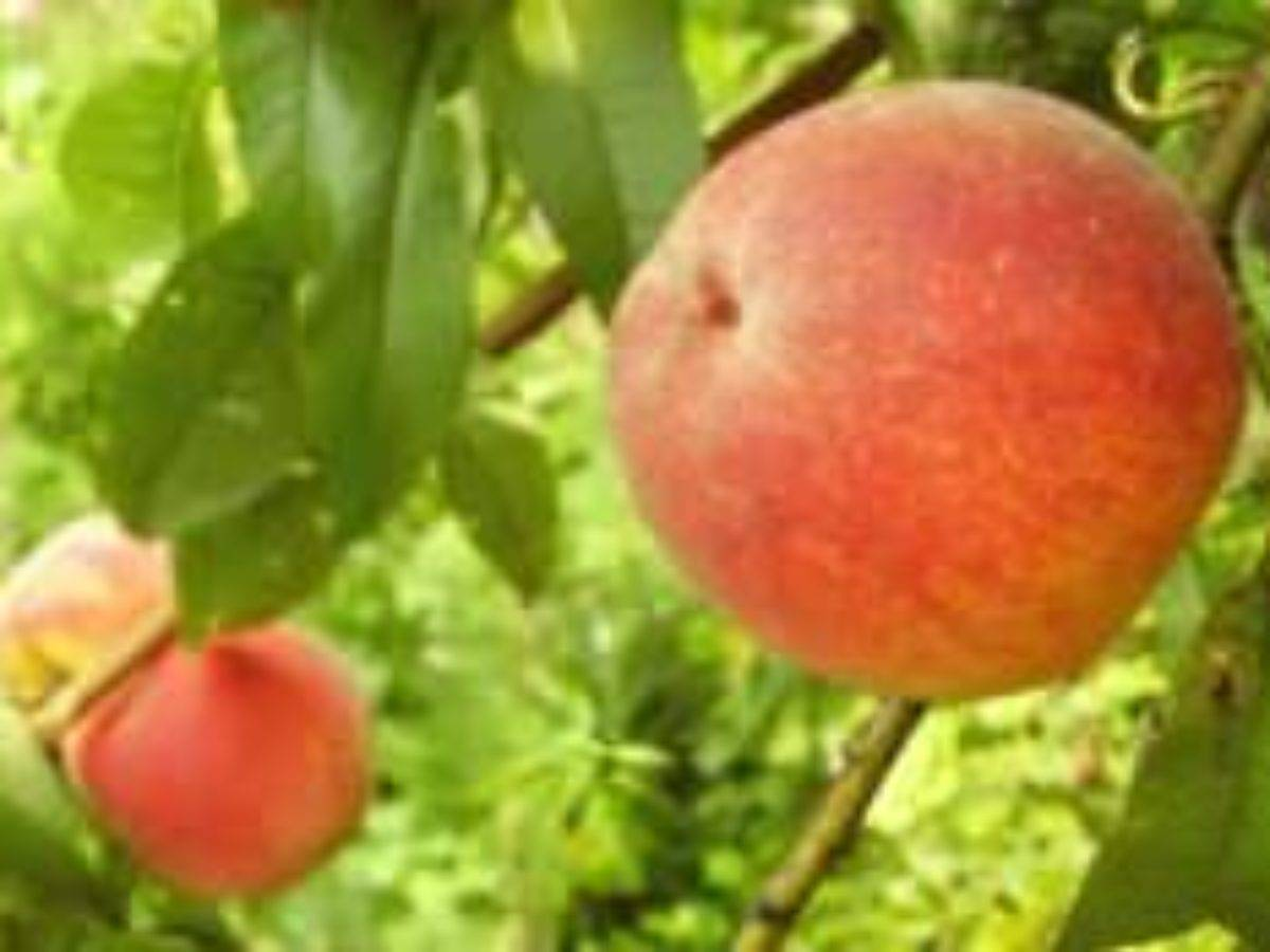 Сорта персиков — 125 фото основных сортов и советы по их выращиванию своими руками