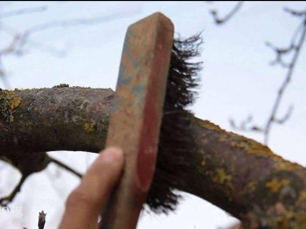 Лишайники на деревьях: как от них избавиться