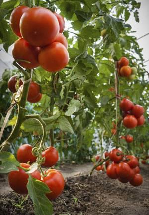 Помидоры в теплице из поликарбоната: посадка и уход, правильная технология выращивания томатов, как получить ранний урожай, а также советы и секреты высокой урожайности, фото-материалы