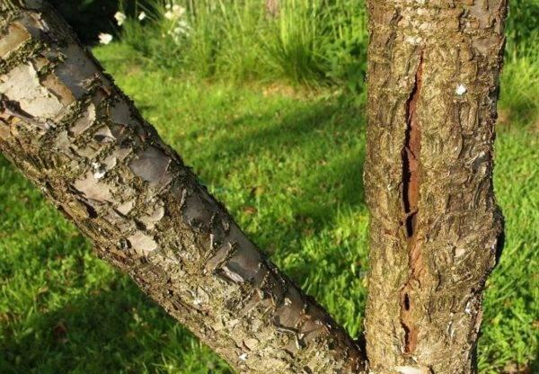 Почему трескается черешня: что делать и как лечить