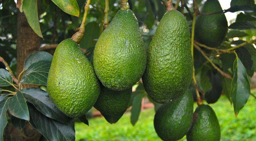 Авокадо - где растет, в какой стране? как вырастить авокадо из косточки в домашних условиях