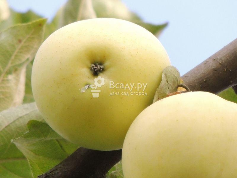 Яблоня белый налив: описание сорта и его фото, размножение и уход, когда созревают