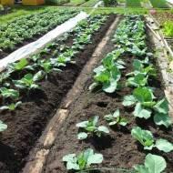 Как вырастить на садовом участке капусту мегатон?