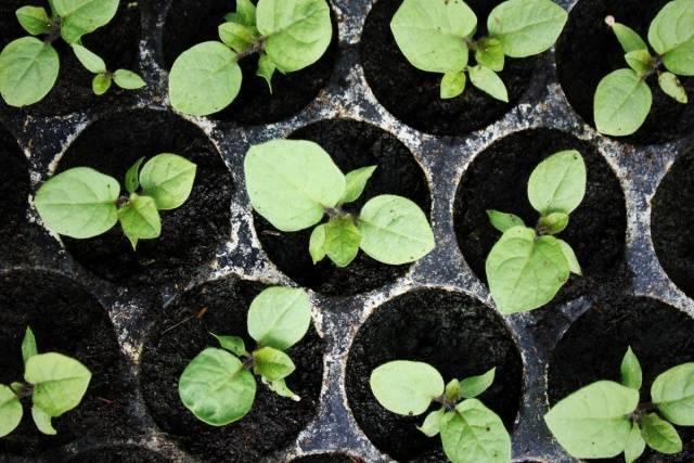 Посев семян перца и баклажан на рассаду: как и когда сажать, примерные сроки, подготовка семян и состав почвы, уход за побегами