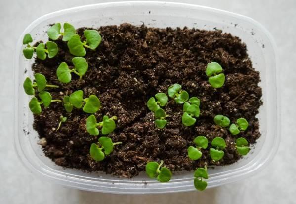 Базилик на подоконнике: выращивание из семян