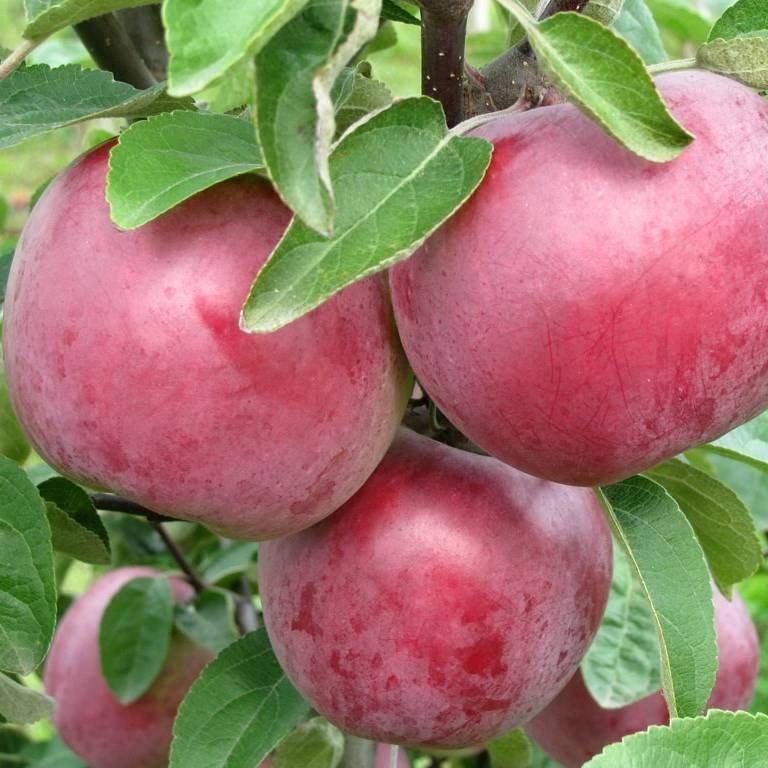 Описание и характеристики яблони сорта коваленковское