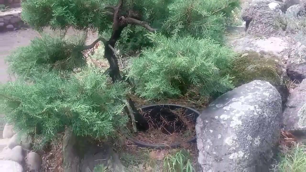 Как вырастить бонсай из можжевельника в домашних условиях - жми!
