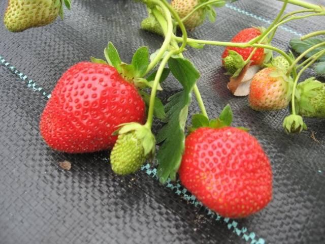 Клубника итальянской селекции галя чив — описание сорта и отзывы огородников