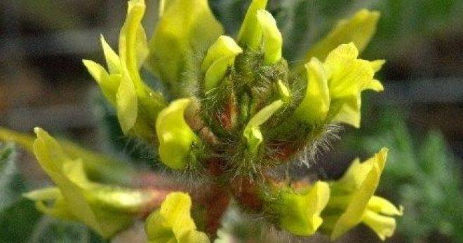 Чем полезен астагал шерстистоцветковый для нашего организма