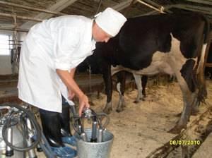 Как научиться доить корову руками правильно: с какой стороны, продолжительность массажа перед доением в домашних условиях, станок и стул — moloko-chr.ru