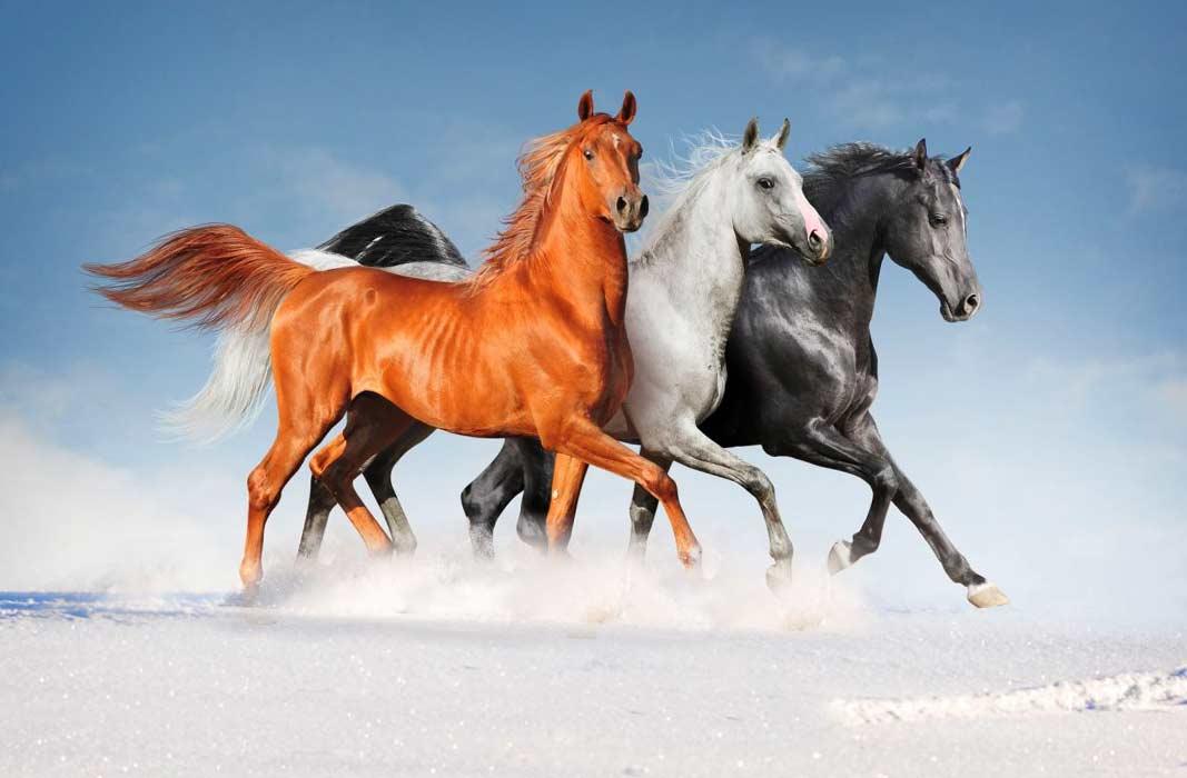 Карачаевская порода лошадей: описание, плюсы и минусы содержания