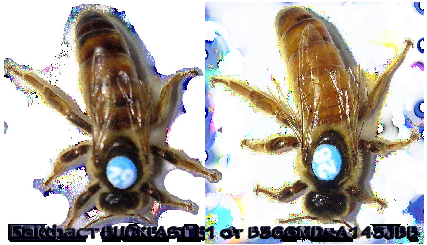 Какая пчела лучше: карника или карпатка