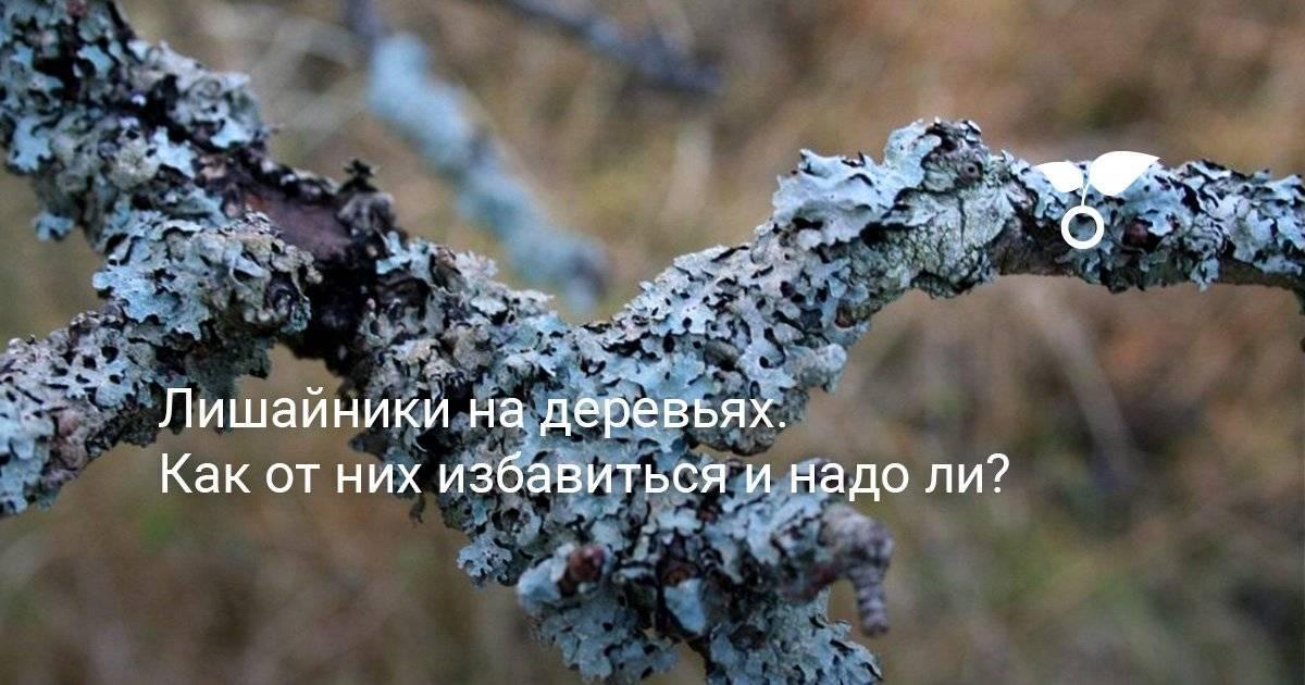4 шага, как избавиться от лишайника на плодовых деревьях. пусть яблони будут здоровыми!   садовый участок