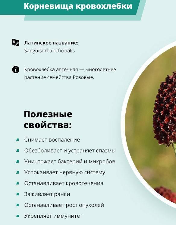 Кровохлебка лекарственная: полезные свойства и применение