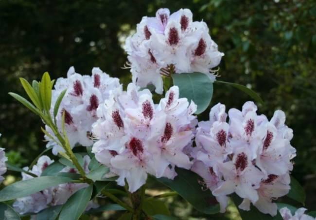 Азалия не цветет: почему на комнатном рододендроне уже год нет бутонов, в чем причины, что делать, как в домашних условиях ухаживать за растением в горшке?