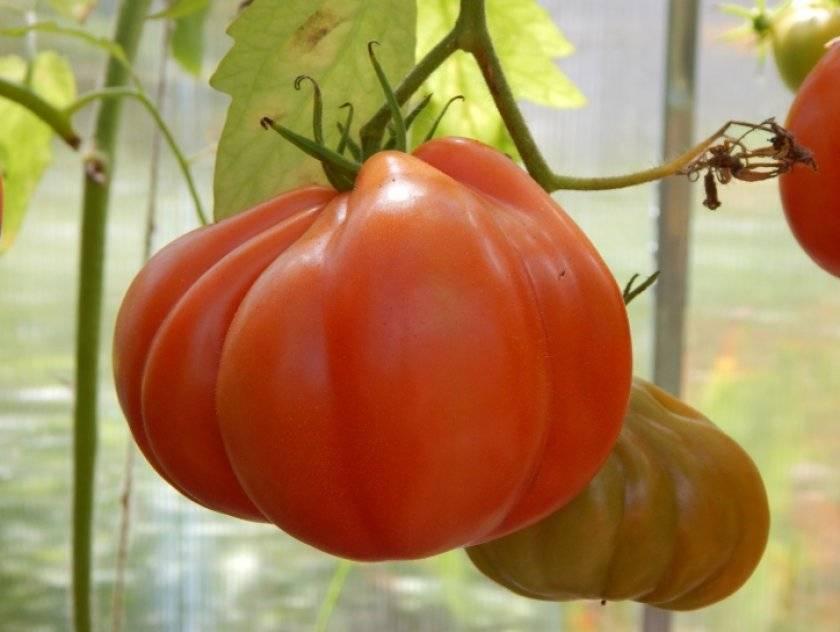 Сорт томата  «инжир красный»: описание, особенности ухода и выращивания