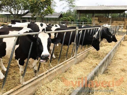 Характеристики горбатой коровы