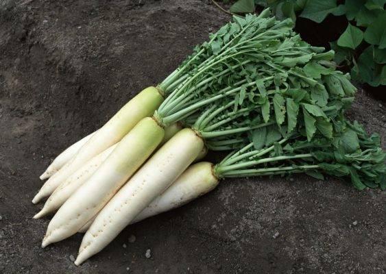 Репа — особенности выращивания и сорта