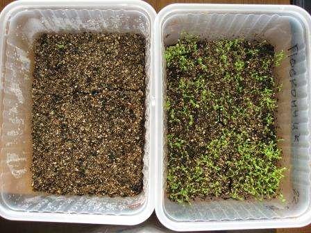Барботирование семян — смысл процедуры и описание метода