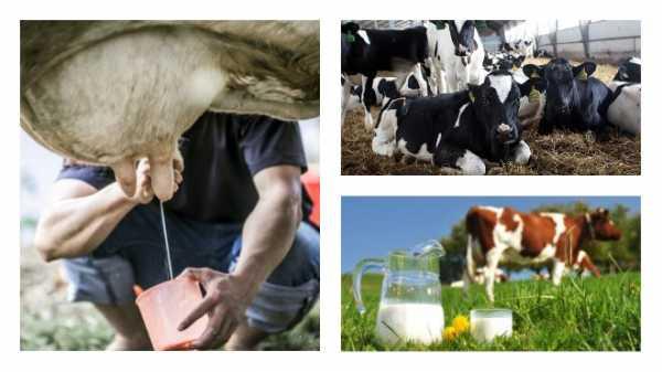 Когда появляется молоко после отёла у коровы?
