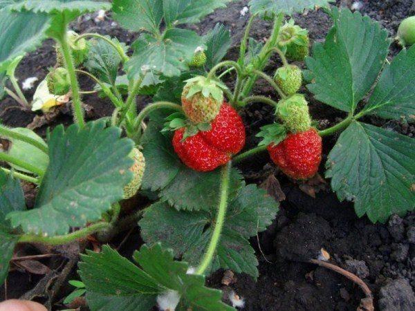 Описание и выращивание клубники сорта фестивальная ромашка