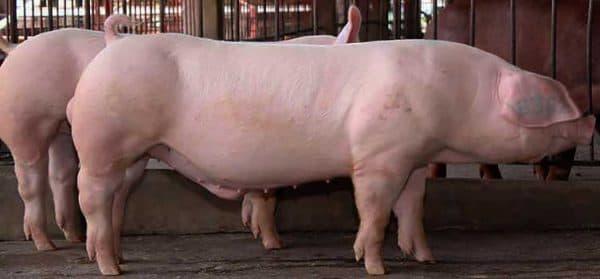 Высокопродуктивная порода свиней ландрас