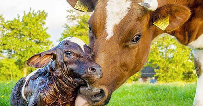 Как проходит беременность у коровы?