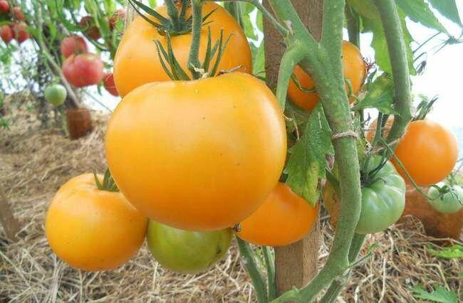 Крупноплодные и вкусные: помидоры с оригинальным названием хурма