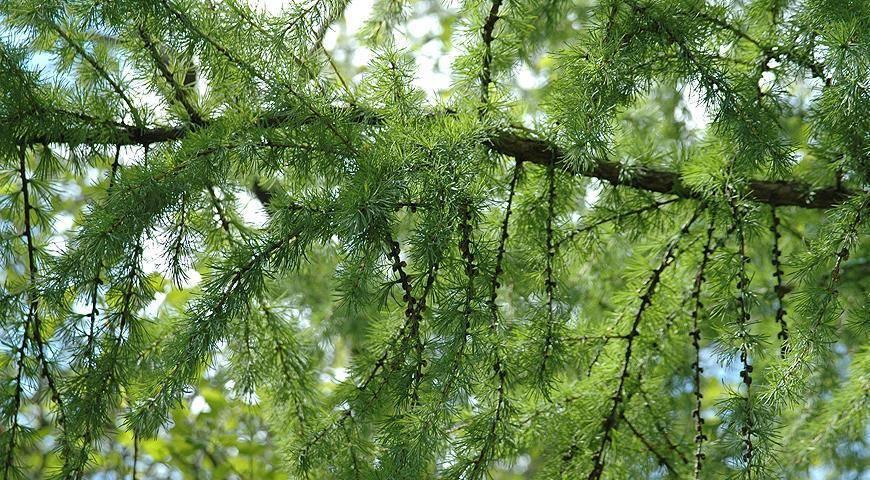Лиственница европейская (larix decidua): описание, выращивание