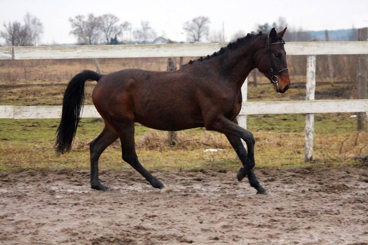 Тракененская порода лошадей — характеристика