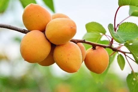 Маньчжурский абрикос: в чём его особенность и как выращивать?