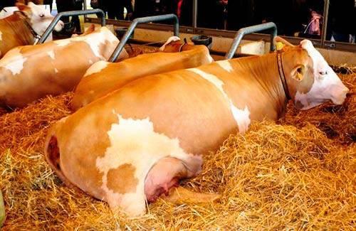 Описание симментальской породы коров