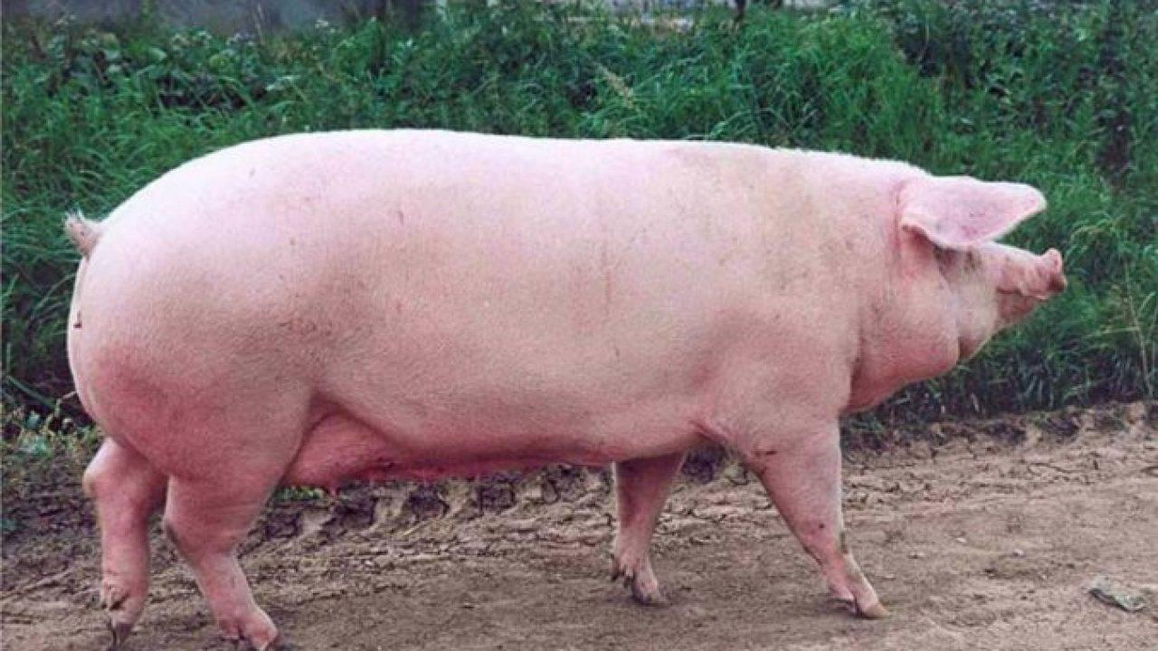 Мясные породы свиней: достоинства и недостатки