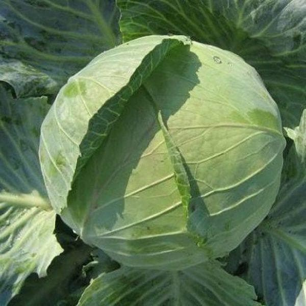 Описание сорта капусты белорусская