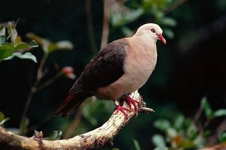 Розовый голубь — википедия
