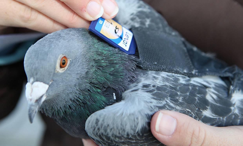 Откуда почтовые голуби знают, куда лететь?