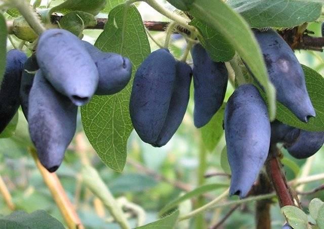 Характеристика и особенности выращивания жимолости сорта герда